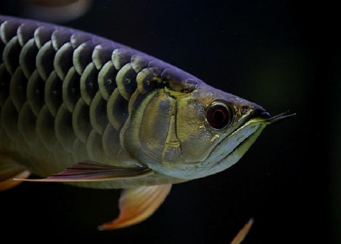 रोहू मछली खाने के फायदे और नुकसान – Rohu machli khane ke fayde in Hindi